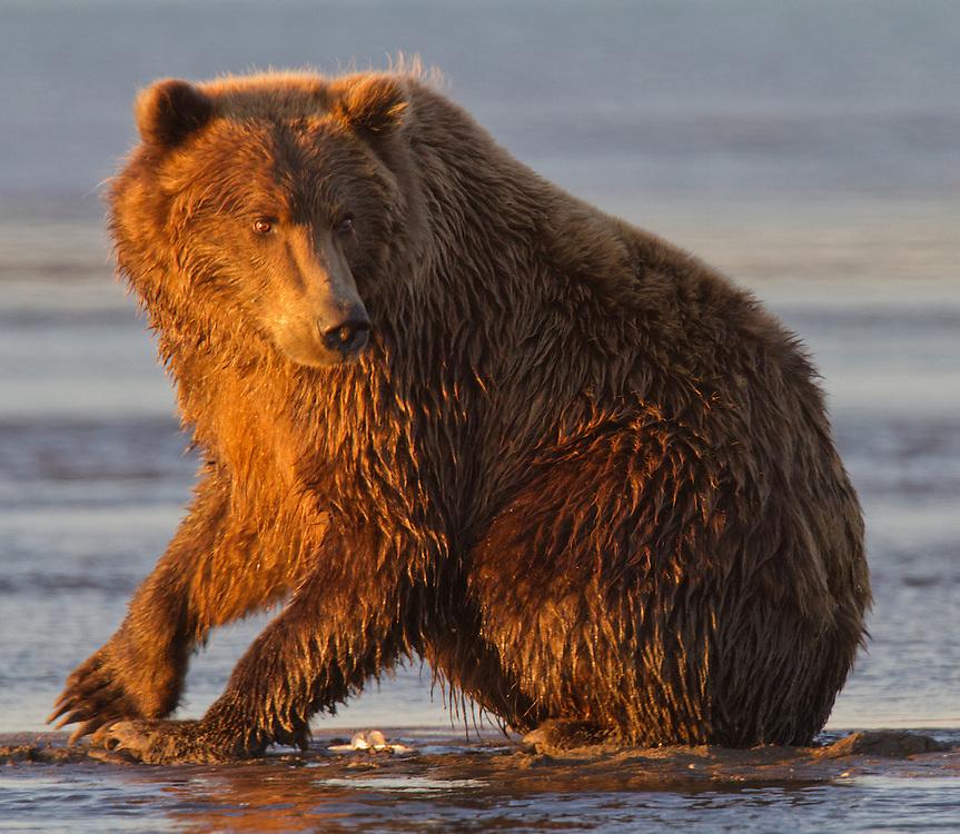 Coastal Brown Bear Sow, Silver Salmon Creek, Lake Clark National Park and Preserve