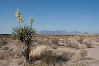 Soaptree Yucca, (Yucca elata), Big Bend National Park, TX