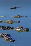 American Alligators at deep hole in the Myakka River, One of the largest populations in the state of Florida, Myakka River State Park, Florida, USA