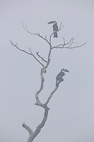 Channel-billed Toucan (Ramphastos vitellinus) pair perched on a tree snag in the morning fog.  Tiputini Biodiversity Station, Ecuador