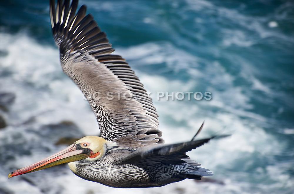 Pelican Flying Through La Jolla