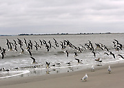 A flock of Skimmers coming in for a landing on a remote portion of Jekyll Island beach.
