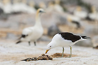 Kelp Gull feeding on a dead Cape Gannet chick, Malgas Island, West Coast National Park, Western Cape, South Africa