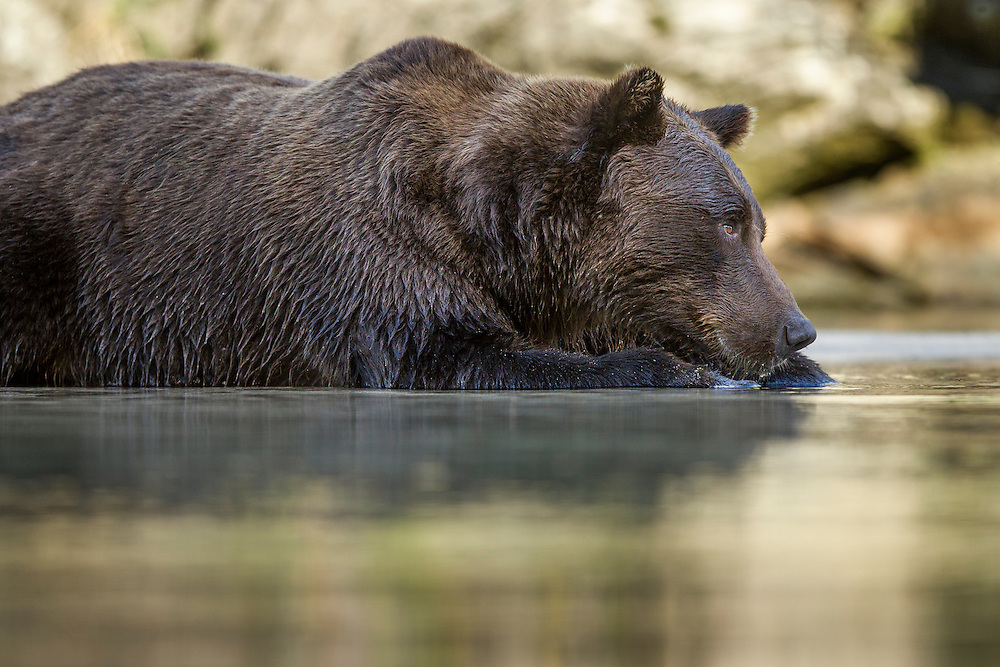 USA, Alaska, Katmai National Park, Coastal Brown Bear (Ursus arctos) lying at edge of salmon spawning stream by Kuliak Bay