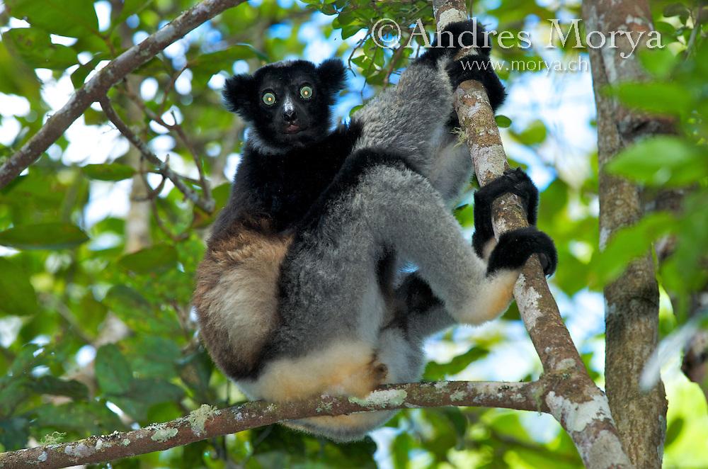Indri, (Indri indri), Andasibe, Madagascar Indri (Indri indri) , Analamazaotra Special Reserve , Andasibe Mantadia National Park , Madagascar Image by Andres Morya