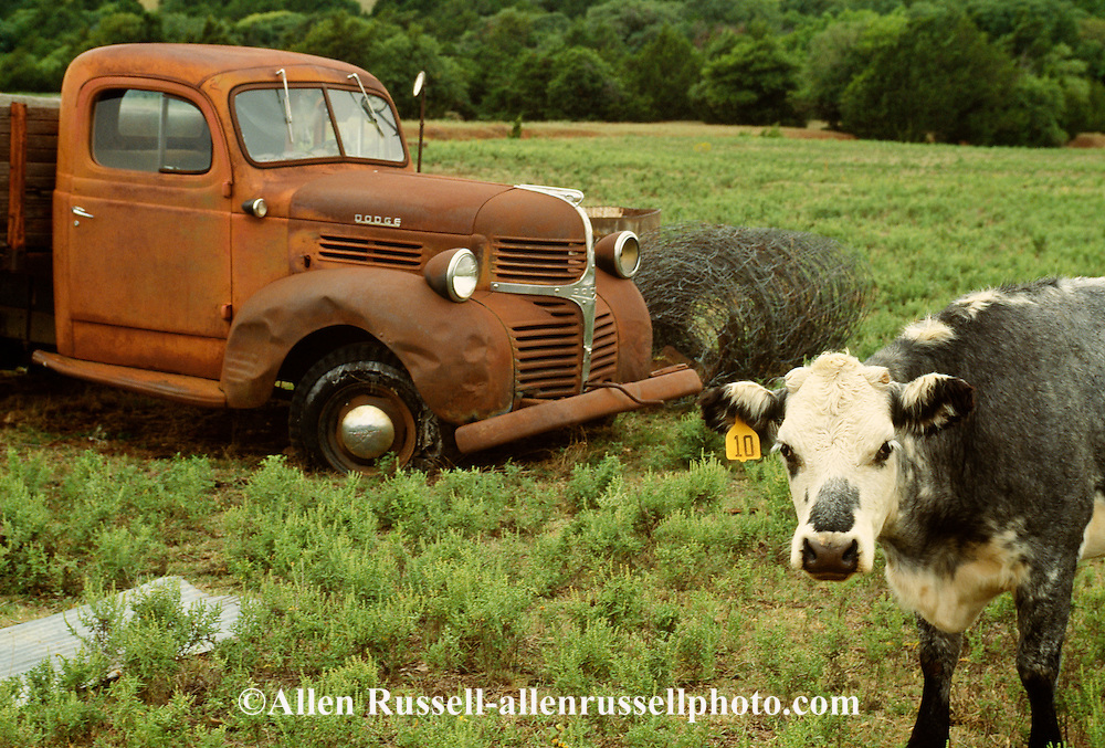 1947 Dodge pickup truck and cow in pasture, Hydro, Oklahoma<br /> PROPERTY RELEASED