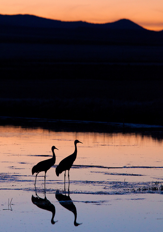 A pair of sandhill cranes ready to roost after a full day of foraging.