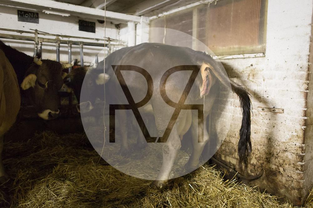 SCHWEIZ - MEISTERSCHWANDEN - Eine Kuh bringt ein Kalb zur Welt, hier eine Wehe - 06. Februar 2017 © Raphael Hünerfauth - http://huenerfauth.ch