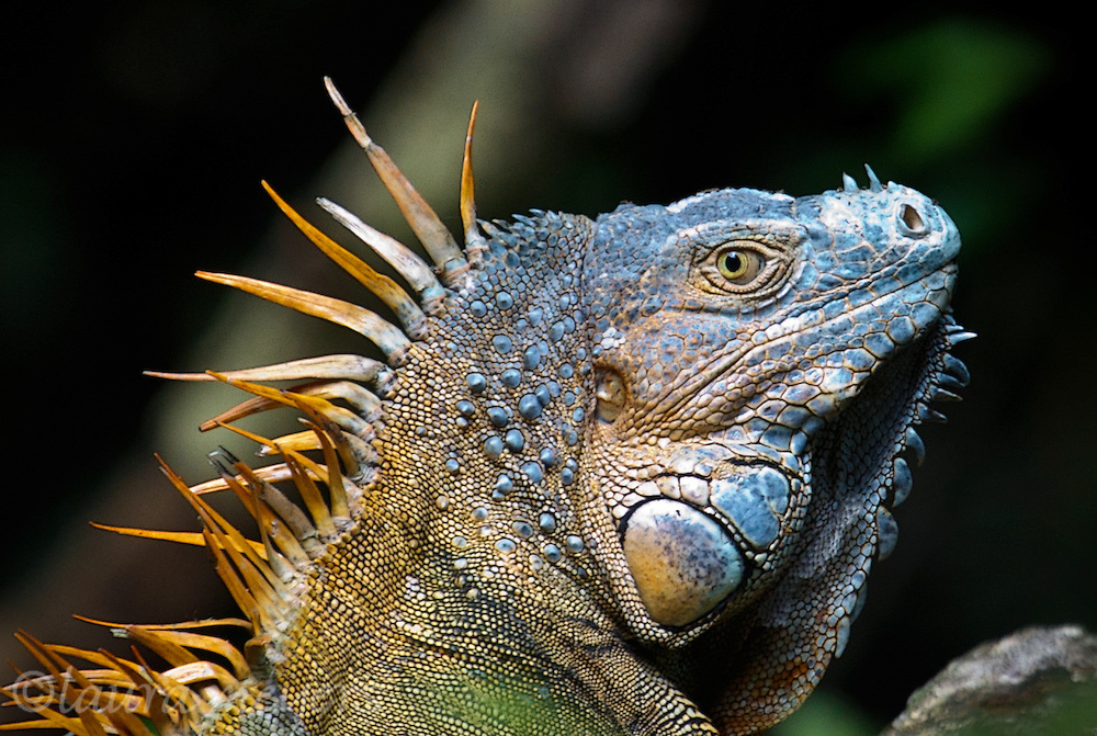 Green Iguana Breeding