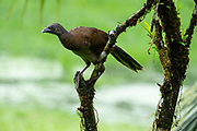 grey-headed chachalaca (Ortalis cinereiceps)  an arboreal species, found in rainforests. Photographed in the Costa Rican rainforest