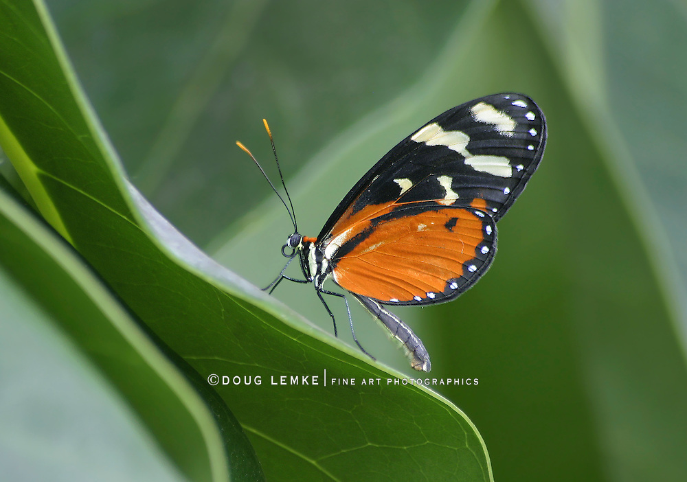 Butterfly, Melinaea scylax, Longwing, Heliconius, Tiger Longwing