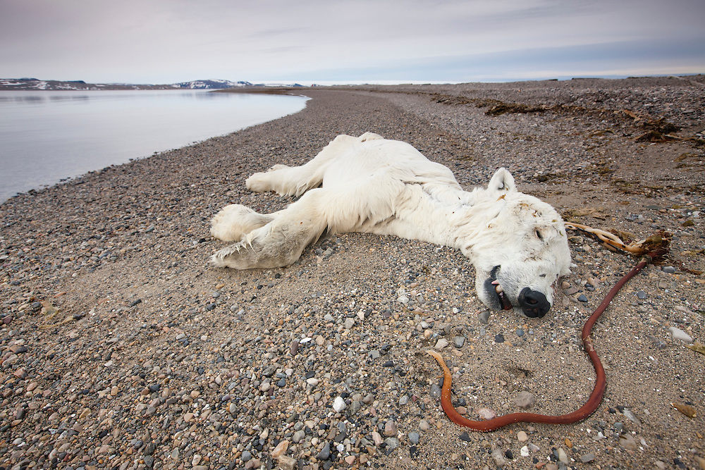 Norway, Svalbard, Spitsbergen Island, Close-up of adult Polar Bear (Ursus maritimus) that may have died of starvation lying on gravel beach