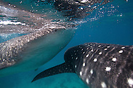 Whale sharks (Rhincodon typus) swimming in the Bohol Sea, Philippines.