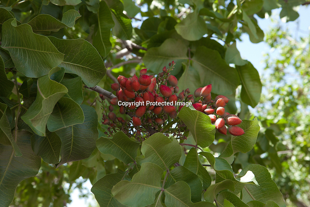 Pistachios tree. The nut tree is booming in the Mediterranea clime California's Central Valley.