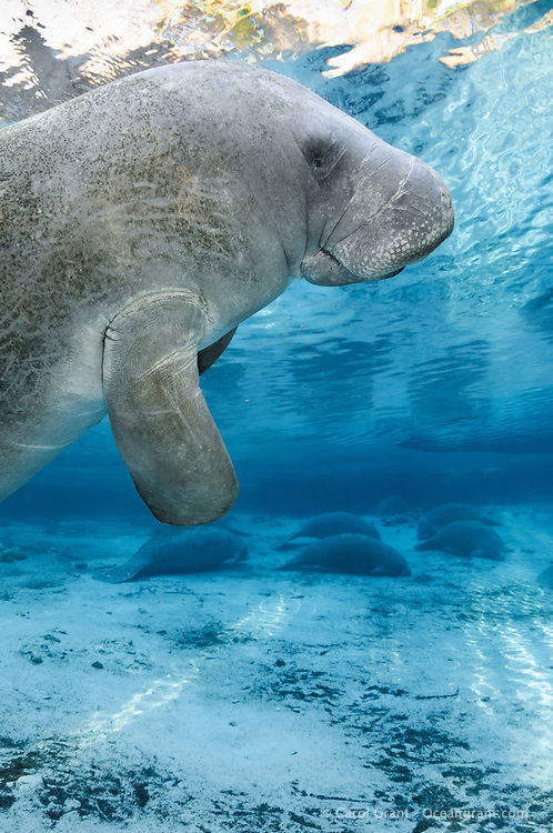 Florida manatee, Trichechus manatus latirostris, a subspecies of the West Indian manatee, endangered. An adult manatee floats at the surface with a number of manatee resting below in the warm blue freshwater of a springhead. Vertical orientation with blue water and sun rays. Three Sisters Springs, Crystal River National Wildlife Refuge, Kings Bay, Crystal River, Citrus County, Florida USA.