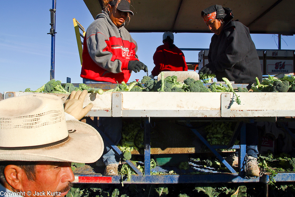 03 FEBRUARY 2003 - YUMA, ARIZONA, USA: Harvesting broccoli on a farm near Yuma, AZ. The produce is packaged as it is picked and will be taken directly to distribution centers. More than 80 percent of the winter vegetables consumed in the United States are grown in the fields surrounding Yuma and most of the rest come from the nearby Imperial Valley of California. The fields are irrigated by water from the Colorado River. PHOTO © JACK KURTZ