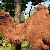 Double Hump Camel at Dusit Zoo in Bangkok, Thailand <br />