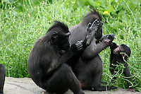 Sulawesi crested macaques with young