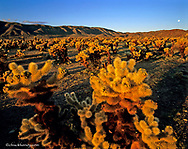 Jumping Cholla Cactus in Joshua Tree National Partk in California