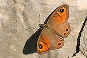 Large wall brown (Lasiommata maera)
