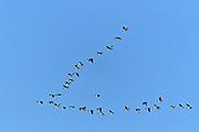 Canada geese (Branta canadensis)   in flight. V formation. <br />Tuxford <br />Saskatchewan<br />Canada