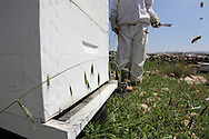 Throughout the spring, summer and autumn the women work most days except Fridays which are the traditional day off work in Palestine. Through the winter work is minimal as hives cannot be opened in the cold.<br /> Bil'in, Ramallah, West Bank, Palestine.