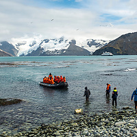 Lindblad staff and crew wade out to greet an arriving zodiac filled with guests for a landing exploration at Moltke Harbour on South Georgia Island.