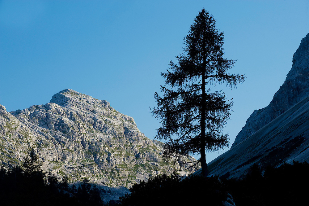 Larch tree at dawn<br /> Triglav National Park, Slovenia<br /> August 2009