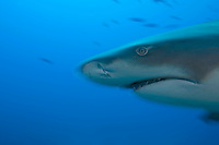 Lemon Shark Profile, Movement