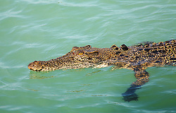 A croc swims on the surface at Sampson Inlet, in Camden Sound.  The saltwater or esturine crocodile, Crocodylus porosus, is a protected species.