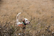 English setter hunting upland birds in Montana