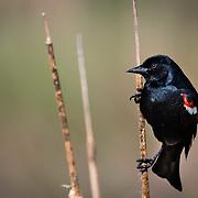 Tricolor Blackbirds