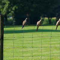 Morning doves on farm fence, Plainfield, Illinois, USA