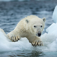 Canada, Nunavut Territory, Repulse Bay, Polar Bear (Ursus maritimus) climbing onto melting sea ice near Harbour Islands