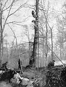 World War I 1914-1918. French observation platform high in a forest tree. From 'Le Pays de France, 10 June 1915.