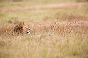 Lion concealed in grass, Ngorongoro Crater, Tanzania.