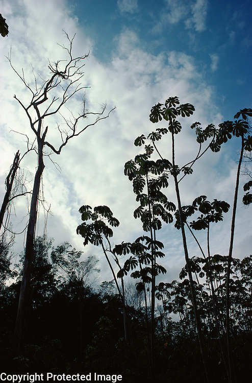 Secondary growth following slash and burn cultivation in Tropical Rain Forest with Cecropia tree of Moraceae family, a typical colonizer tree.