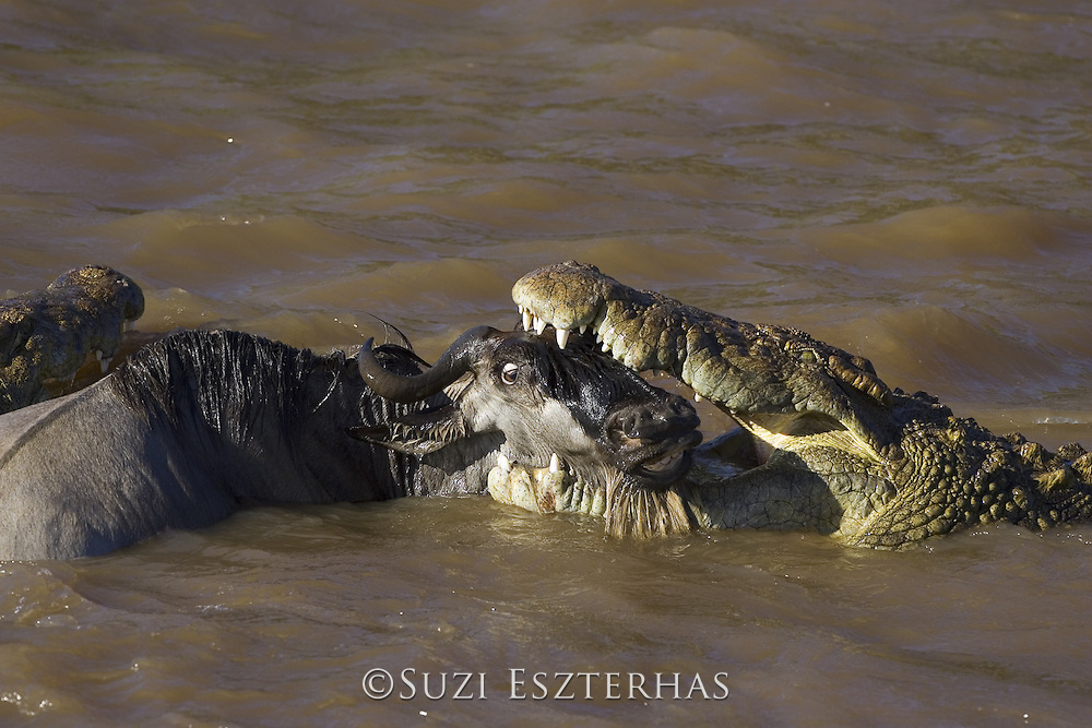 Nile Crocodile<br /> Crocodylus niloticus<br /> Maasai Mara Reserve, Kenya<br /> Attacking wildebeest in Mara River