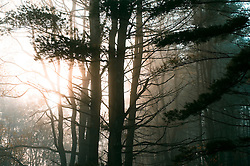 Sunlight through pine trees on a foggy morning in Connecticut