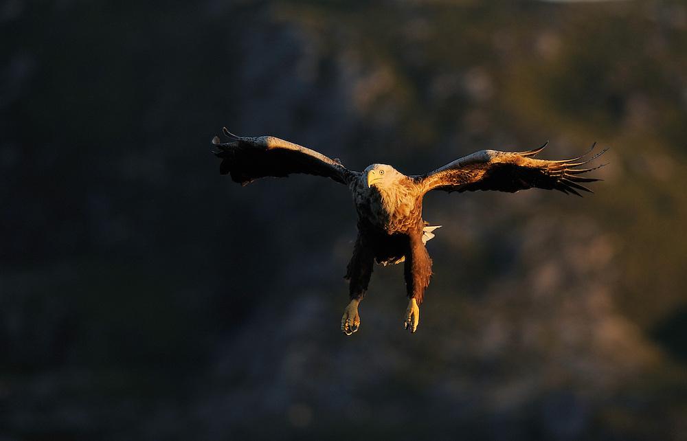 White-tailed sea eagle, Haliaeetus albicilla, Flatanger, Nord-Trøndelag, Norway