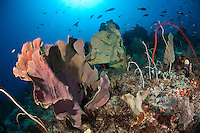 The strong currents in the Misool area create perfect conditions for filter feeders such as soft corals, sea whips, sponges and fans.  Fish life is also prolific, particularly of plankton feeding fish such as fusiliers.  The reefs of Raja Ampat are some of the most diverse and healthiest in the world.