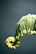 Macro image of a fern growing in the rain forest of Khao Sok National Park, Thailand.