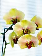 USA, Oregon, Keizer, hybrid orchids.