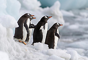 Gentoo Penguins (Pygoscelis papua) at Brown Bluff, the Antarctic Sound on the northern tip of the Antarctic Peninsula
