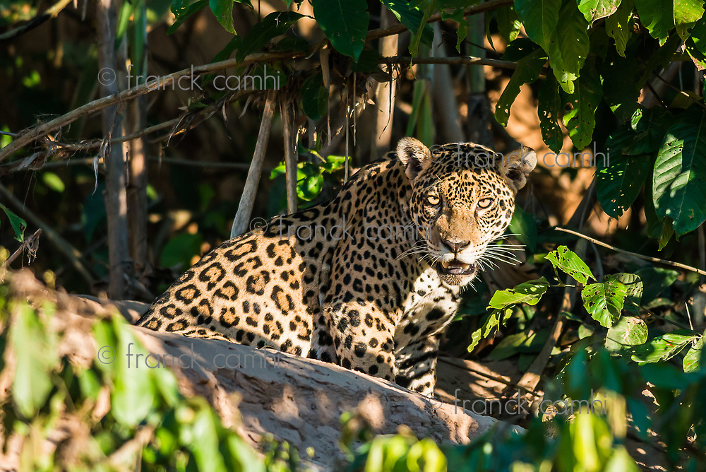 jaguar in the peruvian Amazon jungle at Madre de Dios Peru