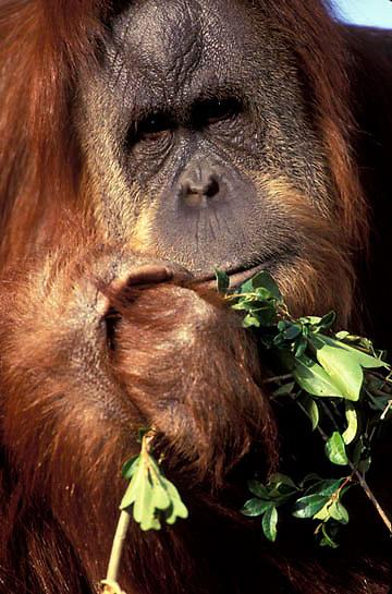 Orangutan, (Pongo pygmaeus) Portrait of young male. Borneo. Malaysia. Controlled Conditons.