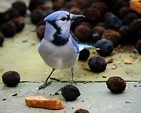 Blue Jay with a Sunflower Seed. Image taken with a Fuji X-H1 camera and 200 mm f/2 lens + 1.4x TC