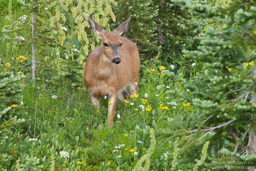 A black-tailed deer (Odocoileus hemionus) walks through a field of summer wildflowers in the Paradise Meadows of Mount Rainier National Park, Washington.