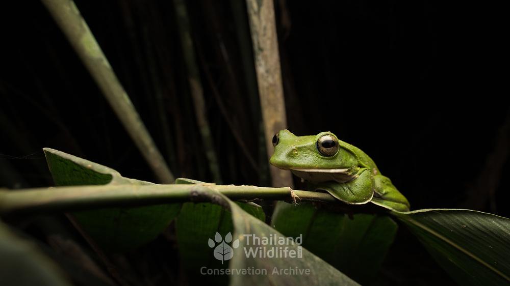 Giant Flying Frog (Rhacophorus maximus) in situ in Kaeng Krachan national park, Thailand