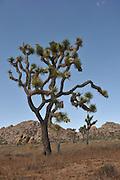 Joshua Tree, Joshua Tree National Park